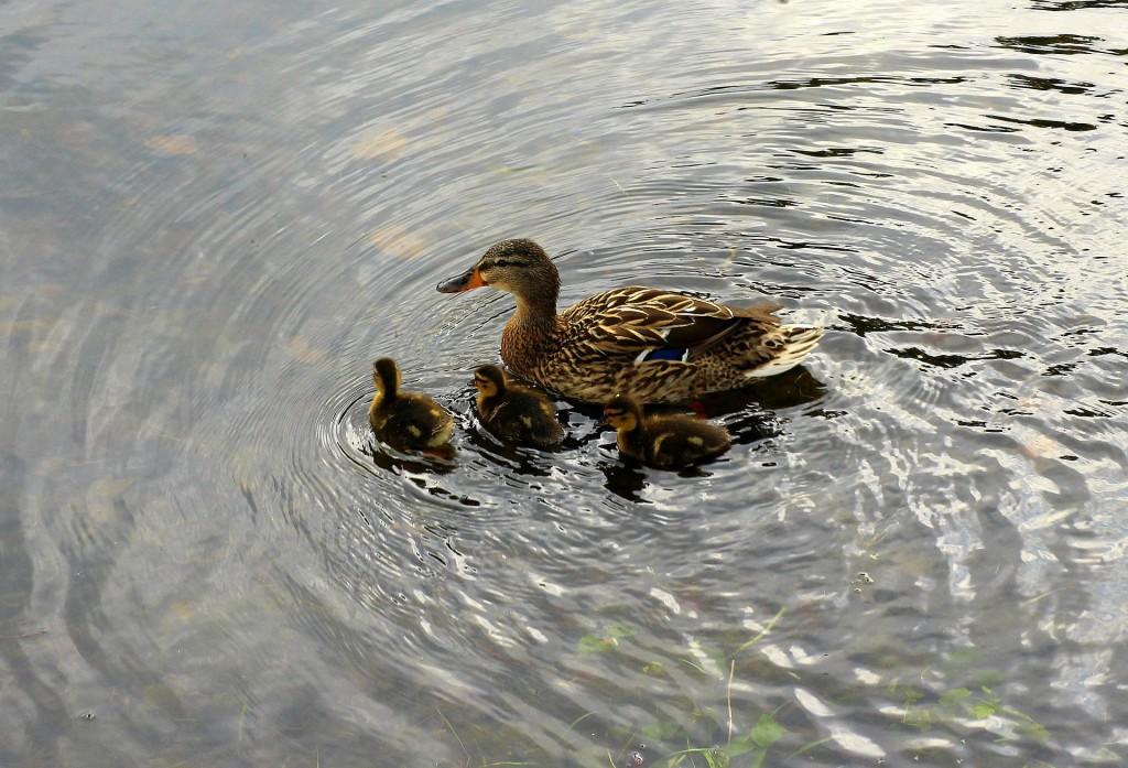 mallard-duck-3404091_1920